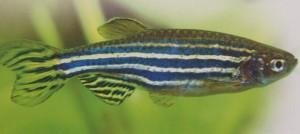 peixe paulistinha