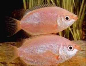 peixe-beijador