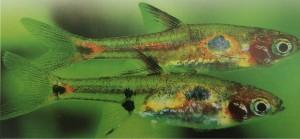 peixe rasbora