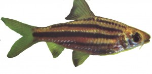 barbus-lineatus