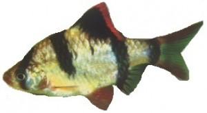 peixe-barbo-sumatra